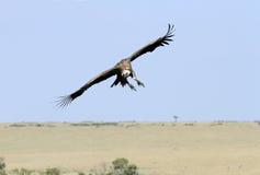 Afrykanin Popierający sęp obserwuje ziemię Zdjęcie Stock