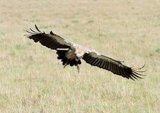 Afrykanin Popierający sęp z szerokimi rozciągniętymi skrzydłami Zdjęcia Stock