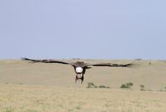 Afrykanin Popierający sępa lądowanie na obszarze trawiastym Obrazy Royalty Free