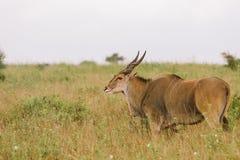 afrykanin przeciw blondynki Kenya jeziora krajobrazu Naivasha park narodowy safari sunglass kobiety potomstwom Zdjęcie Stock