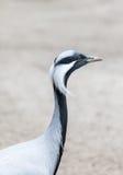 Afrykanin ptasi żuraw Fotografia Stock