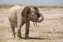 Afrykanin, słoń, Amboseli, Kenja Obraz Royalty Free
