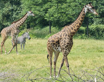 Afrykanin Savana Fotografia Royalty Free