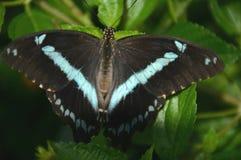 Afrykanin skrzyknący motyl Zdjęcia Stock