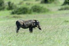 Afrykanin Warthog Fotografia Royalty Free