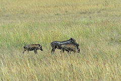 Afrykanin Warthog Fotografia Stock