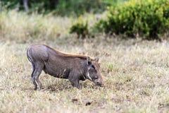 Afrykanin Warthog Zdjęcia Stock