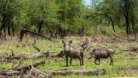 Afrykanin Warthog Zdjęcie Royalty Free