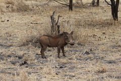 Afrykanin Warthog Obrazy Royalty Free
