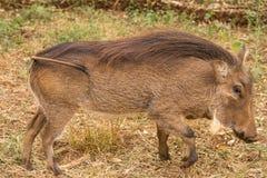 Afrykanin Warthog Obraz Stock