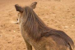 Afrykanin Warthog Obraz Royalty Free