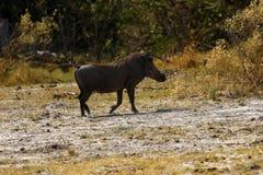 Afrykanin Warthog jest dzikim świnią Zdjęcia Stock