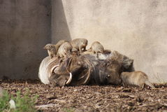 Afrykanin Warthog - Phacochoerus Meerkats i africanus Zdjęcia Royalty Free