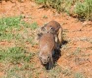 Afrykanin wiewiórek Zmielony Bawić się Obrazy Stock