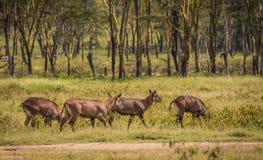 Afrykanin wodna kózka w Masai Mara w Kenja Obraz Stock