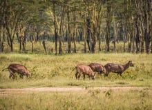 Afrykanin wodna kózka w Masai Mara w Kenja Fotografia Stock