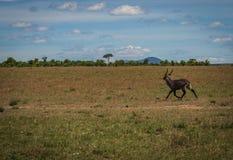 Afrykanin wodna kózka w Masai Mara w Kenja Zdjęcia Stock
