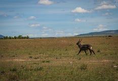 Afrykanin wodna kózka w Masai Mara w Kenja Fotografia Royalty Free