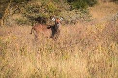 Afrykanin wodna kózka w Masai Mara w Kenja Obraz Royalty Free