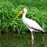 afrykanin wystawiający rachunek ptasi bocianowy kolor żółty Zdjęcia Royalty Free