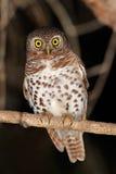 Afrykanin zakazujący owlet Obraz Royalty Free
