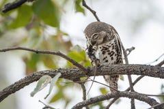 Afrykanin zakazujący owlet w Kruger parku narodowym Obrazy Stock
