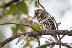 Afrykanin zakazujący owlet w Kruger parku narodowym Obraz Royalty Free