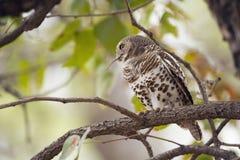 Afrykanin zakazujący owlet w Kruger parku narodowym Zdjęcie Royalty Free