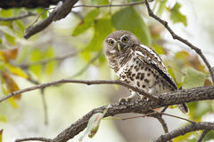 Afrykanin zakazujący owlet w Kruger parku narodowym Zdjęcia Royalty Free