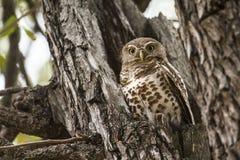 Afrykanin zakazywał owlet chującego w drzewie w Kruger parku narodowym Zdjęcia Stock