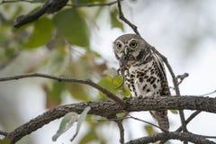 Afrykanin zakazywał owlet je jaszczurki w Kruger parku narodowym Obrazy Stock