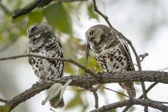 Afrykanin zakazywał owlets z zdobyczem w Kruger parku narodowym Obraz Royalty Free