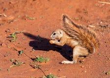 Afrykanin Zmielona wiewiórka z sumiastym ogonem Obrazy Stock