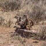 Afrykanin zmielone wiewiórki Zdjęcie Stock