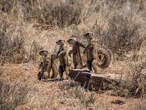 Afrykanin zmielone wiewiórki Fotografia Stock