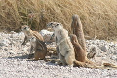Afrykanin zmielone wiewiórki Obraz Stock