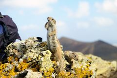 Afrykanin zmielone wiewiórki na Fuerteventura, Hiszpania Zdjęcie Stock