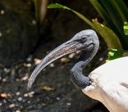 Afrykanina Świętego ibisa portret Fotografia Royalty Free