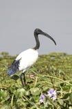 Afrykanina świętego ibisa pozycja na bagnistym brzeg Jeziorny Albert a Zdjęcie Stock