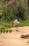 Afrykanina świętego ibisa Threskiornis nazwany aethiopicus Fotografia Royalty Free