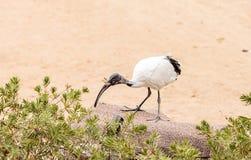Afrykanina świętego ibisa Threskiornis nazwany aethiopicus Zdjęcia Royalty Free