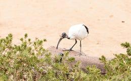 Afrykanina świętego ibisa Threskiornis nazwany aethiopicus Obraz Stock