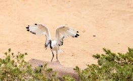 Afrykanina świętego ibisa Threskiornis nazwany aethiopicus Zdjęcia Stock