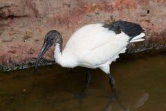 Afrykanina Święty ibis Fotografia Stock