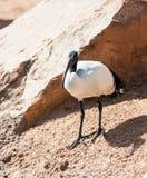 Afrykanina Święty ibis Obrazy Royalty Free
