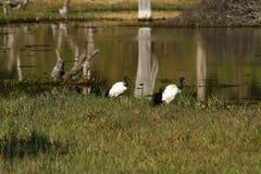 Afrykanina Święty ibis Obraz Royalty Free