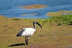 Afrykanina Święty ibis Zdjęcie Royalty Free