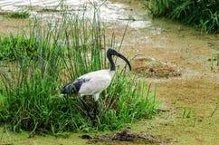 Afrykanina święty ibis, Isimangaliso bagna park, Południowa Afryka Zdjęcie Stock