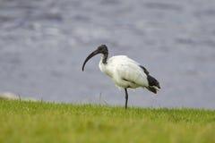 Afrykanina Święty ibis stojący na jeden nodze Fotografia Stock
