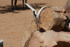 Afrykanina Święty ibis - Threksiornis aethiopicus Fotografia Royalty Free